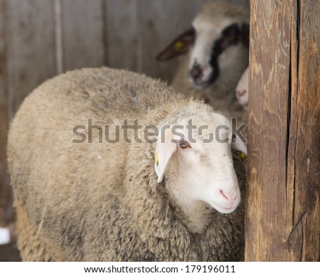 Shy sheep looking behind wooden column in stable - stock photo