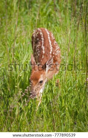 Shy White-Tailed Deer Fawn (Odocoileus virginianus)  - captive animal