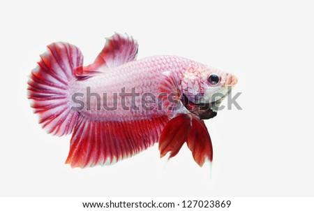 Siam Fighting Fish isolated - stock photo
