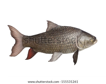 Siam Giant Carp  isolated on white
