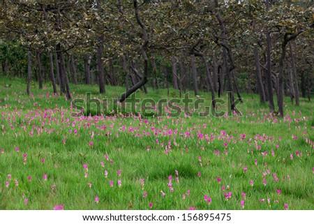 Siam Tulip  - stock photo