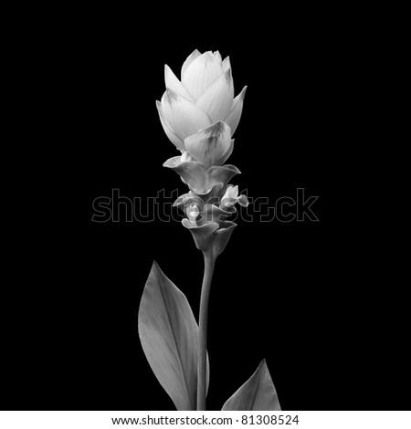 Siam tulip isolated on black - stock photo