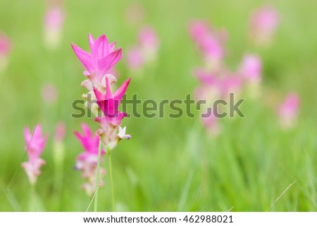 Siam tulip or Krajeaw Flowers at Sai Thong National Park, Chaiyaphum