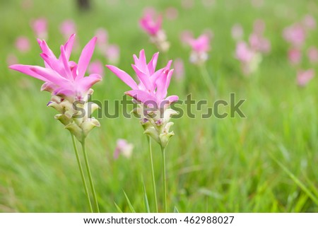 Siam tulip or Krajeaw Flowers at Sai Thong National Park, Chaiyaphum.