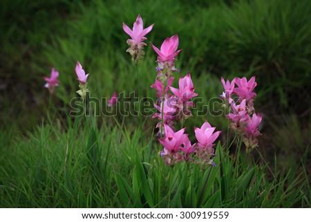 Siam Tulip, Pink Flower, Field of Flowers - stock photo