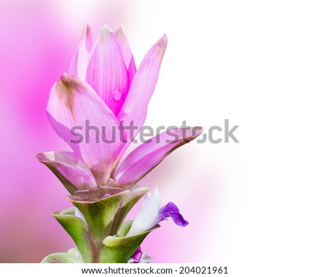 Siam tulip with clipping path