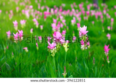 Siam tulips blooming in Chaiyaphum province, Thailand