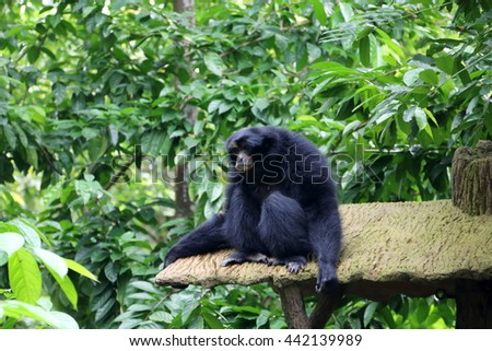Siamang, also known as lesser ape, is resting in a rainforest