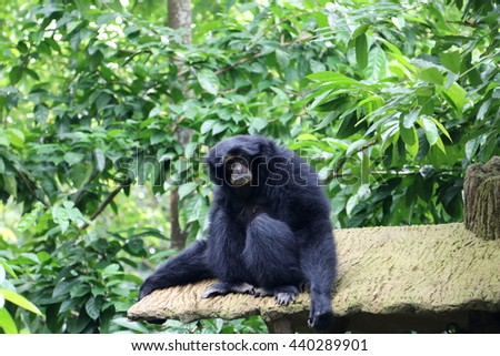 Siamang, also known as lesser ape, lives in South East Asia - stock photo