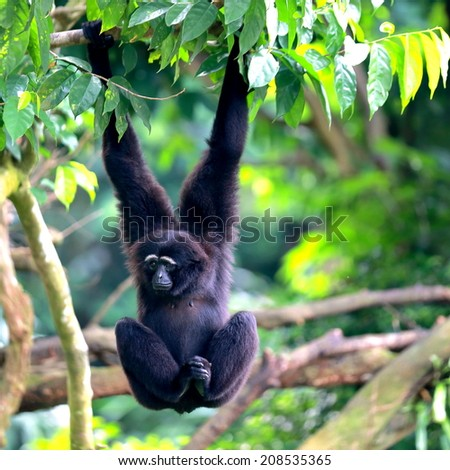 Siamang Hanging from Tree - stock photo