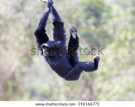 Siamang (Hylobates syndactylus). The largest of the Gibbon ape species. Found in the Malay Peninsula and Sumatra. - stock photo