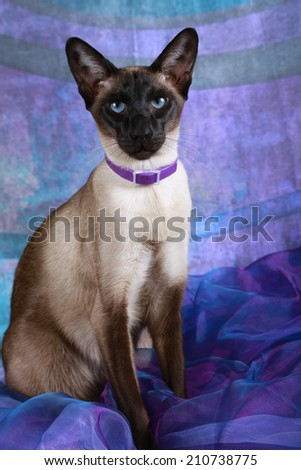 Siamese Cat - stock photo