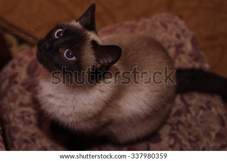 Siamese cat - stock photo