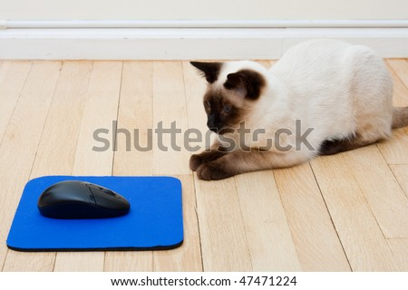 Siamese Cat curiously sitting in front of a computer mouse laying on a mousepad on the floor - stock photo