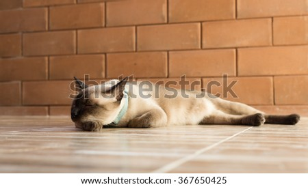 Siamese cat cute,Thailand. - stock photo