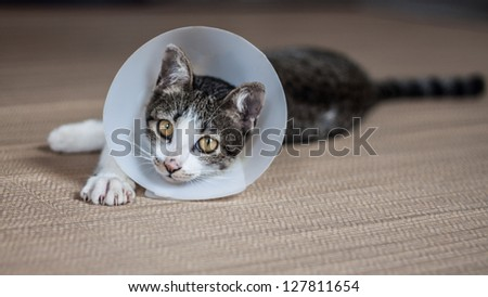 Siamese cat in a cone lie leisurely on a mat