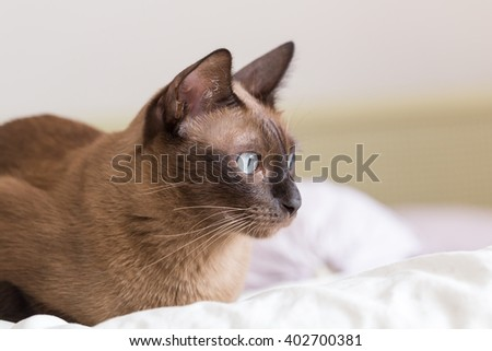 Siamese cat in portrait - stock photo