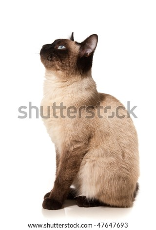 Siamese cat isolated on white - stock photo