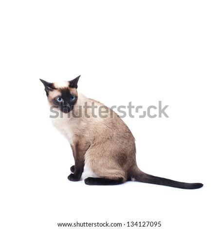 Siamese cat isolated on white background - stock photo