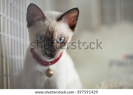 Siamese cat kitten looking.(Seal brown,Siamese Cat) - stock photo