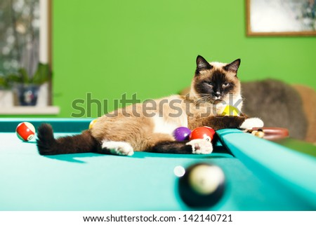 Siamese cat laying on the pool table - stock photo