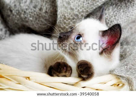 Siamese cat lying in the bast basket - stock photo
