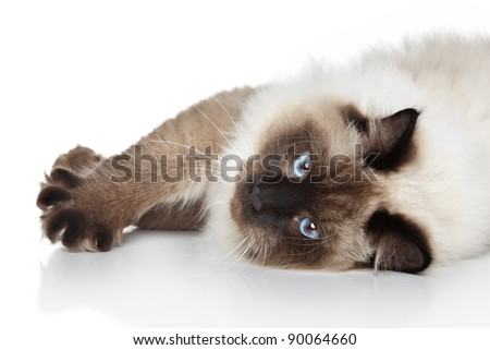 Siamese cat lying on a white background - stock photo