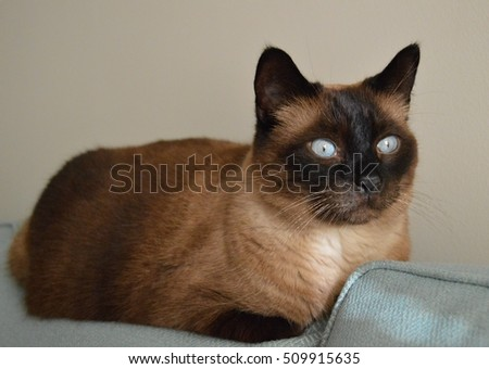 Siamese Cat on a Blue Sofa