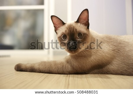 Siamese cat on the floor.