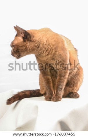 Siamese cat on white background - stock photo