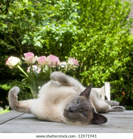 siamese cat outdoor - stock photo