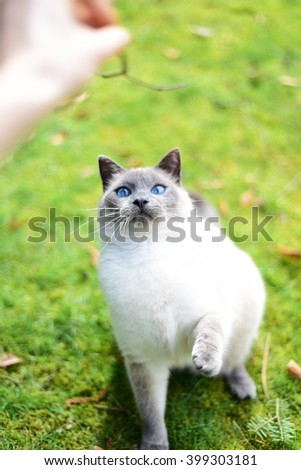 Siamese cat playing in the garden - stock photo