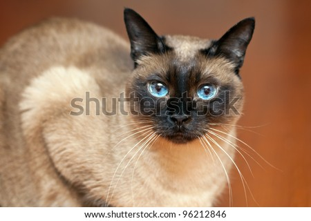 Siamese cat portrait - stock photo