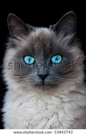 siamese cat portrait isolated on black - stock photo