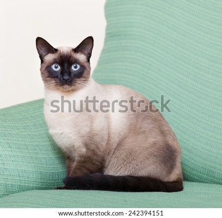 Siamese cat resting on  couch at home. - stock photo