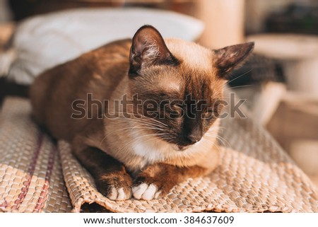 Siamese Cat(selective focus) - stock photo