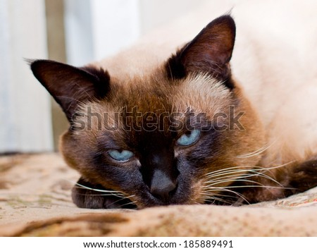 Siamese cat sleeping face - stock photo