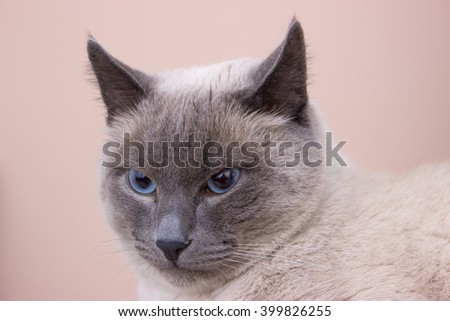Siamese cat. Snout of a cat.