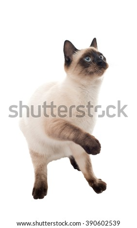 Siamese cat standing on its hind legs. isolated - stock photo