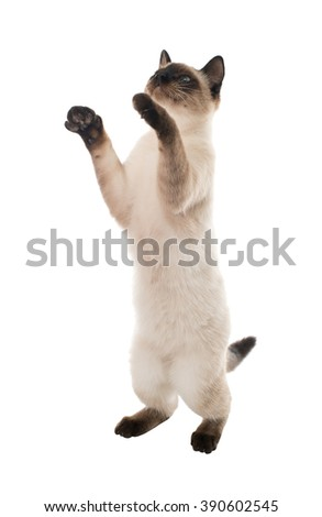 Siamese cat standing on its hind legs. isolated