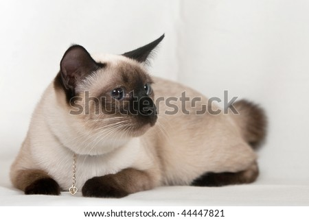 Siamese cat with an ornament on the neck - stock photo