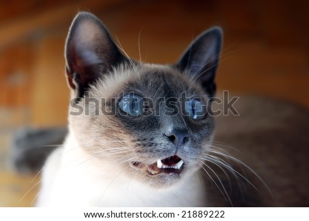 """Siamese cat with blue eyes, curious expression on her face asking """"what!"""" - stock photo"""