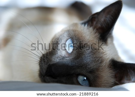 Siamese cat with blue eyes, rests on bed
