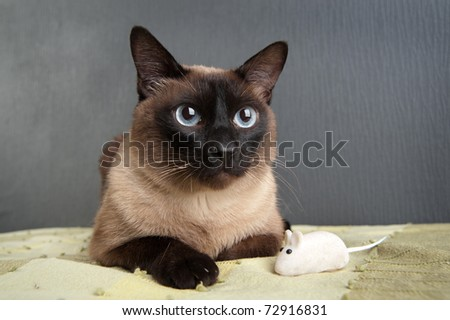 Siamese Cat with white mouse - stock photo