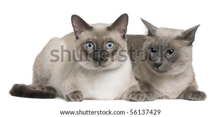 Siamese cat, 3 years old and 8 months old, lying in front of white background - stock photo