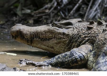 Siamese crocodile was very rare found on their habitat. - stock photo