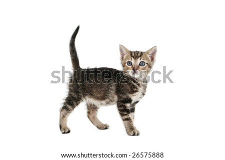 Siamese-cross kitten, 5 weeks old, on white background - stock photo