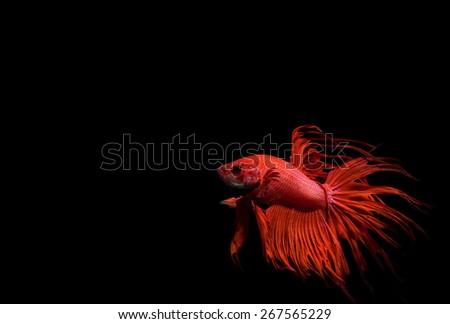 siamese fighting fish - stock photo
