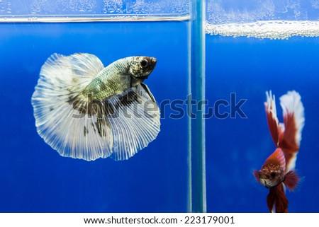 siamese fighting fish, betta fish - stock photo