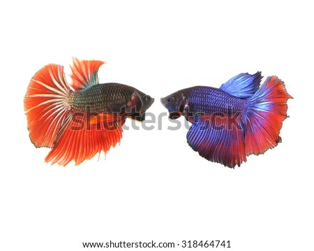 siamese fighting fish, Betta fish isolated on white background. - stock photo